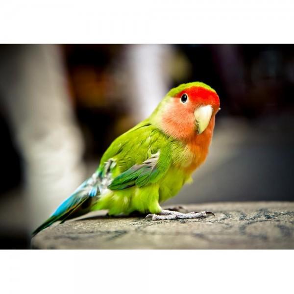 Papuga (HD) - Sklep Art Puzzle