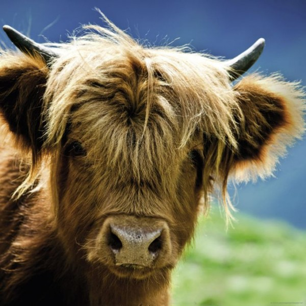 Krowa - Sklep Art Puzzle